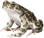 image of amphibian from new species distribution library